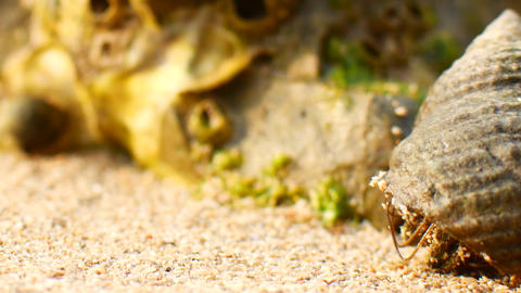 Crab hermit crab crawls on the sand at the beach closeup shot Live Action