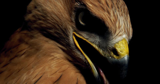 Close up of a hawk, big yellow beak and scary eyes, wildlife, 4k Live Action