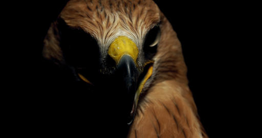 Hawk with big eyes and yellow open beak is looking around, 4k Live Action