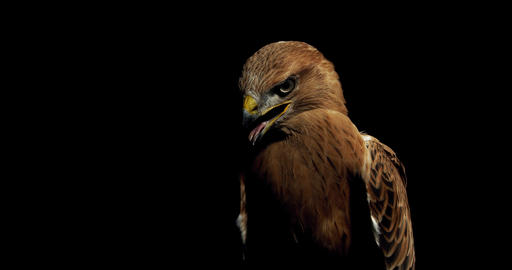 Black and brown feathers on a wild hawk with open beak, wildlife, 4k Live Action