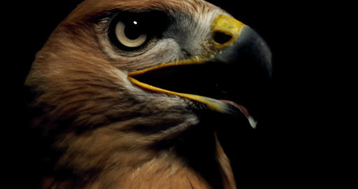 Hawk with brown feathers and yellow beak is looking to the sides, 4k Live Action