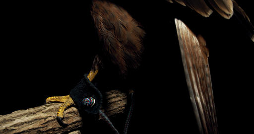 Close up of the talons and the whole hawk with big eyes and open beak, 4k Live Action