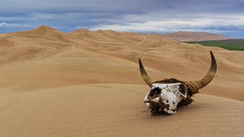 Bull skull in sand desert at sunset timelapse Live Action