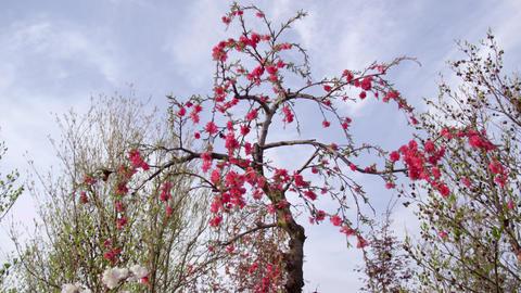 Flowers hanamomo V1-0021 Footage