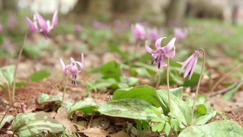 Flowers katakuri V1-0007 Footage
