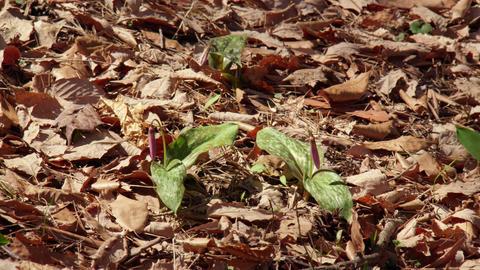 Flowers katakuri V1-0063 Footage