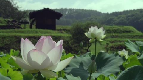 Flowers lotus V1-0007 Footage
