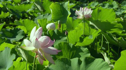 Flowers lotus V1-0015 Footage
