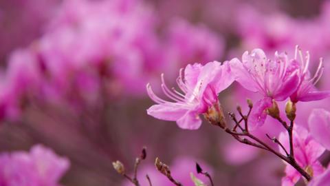 Flowers mistubatsutsuji V1-0043 Footage