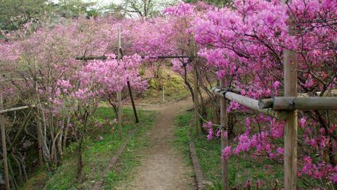 Flowers mistubatsutsuji V1-0046 Footage