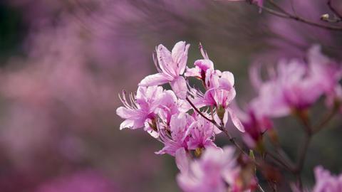 Flowers mistubatsutsuji V1-0051 Footage