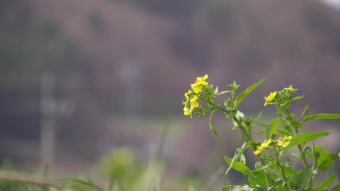 Flowers nanohana V1-0021 Footage