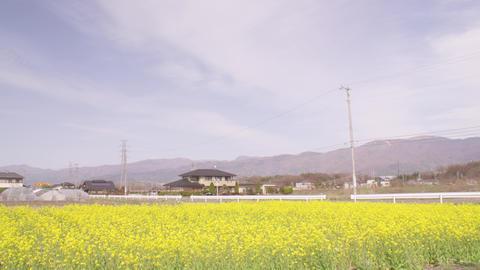 Flowers nanohana V1-0025 Footage