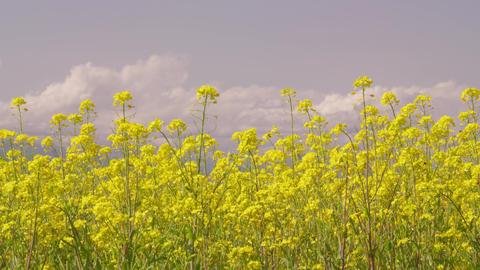 Flowers nanohana V1-0043 Footage