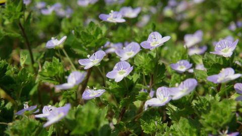 Flowers ooinunofuguri V1-0004 Footage