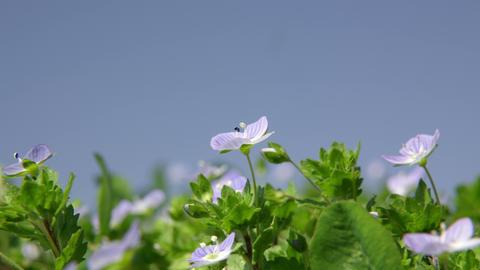 Flowers ooinunofuguri V1-0008 Footage