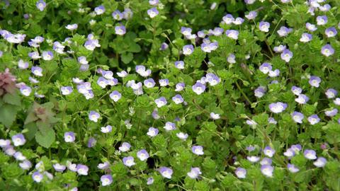 Flowers ooinunofuguri V1-0013 Footage