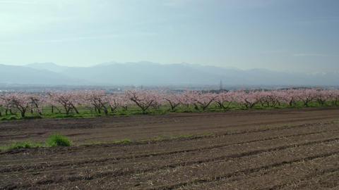Flowers peach V1-0016 Live Action