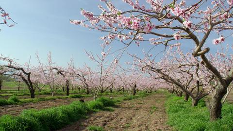 Flowers peach V1-0022 Footage
