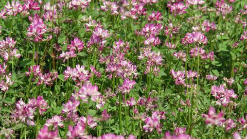 Flowers renge V1-0007 Footage