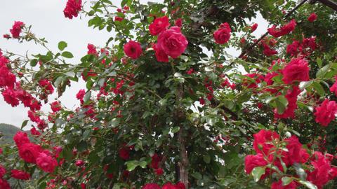 Flowers rose nagano ina V1-0006 Footage
