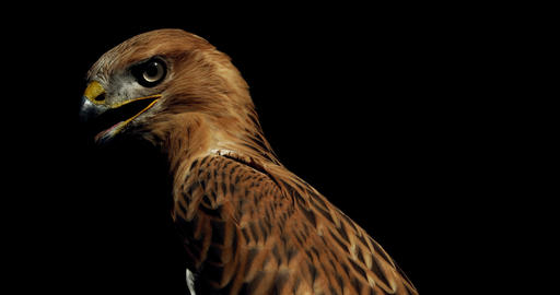 Profile shot of a big predatory bird, hawk with open beak and big eyes, 4k Live Action