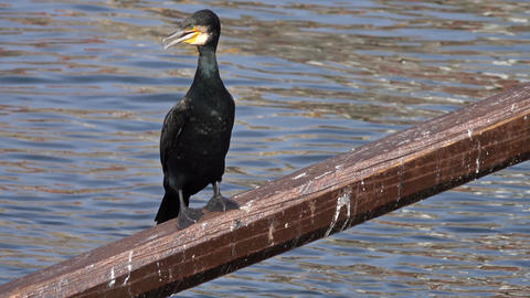 Cormorant bird sitting on the oar Live Action