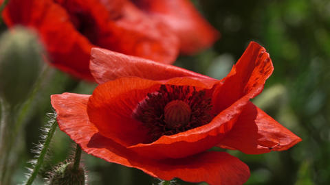 Red poppy flowers at summer time close-up Live Action