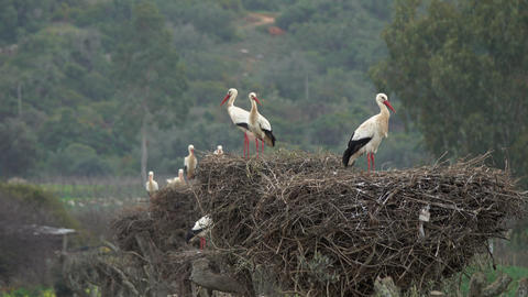 White storks in the nest, Portugal Live Action