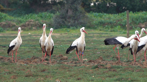 flock of white storks resting in fields Live Action