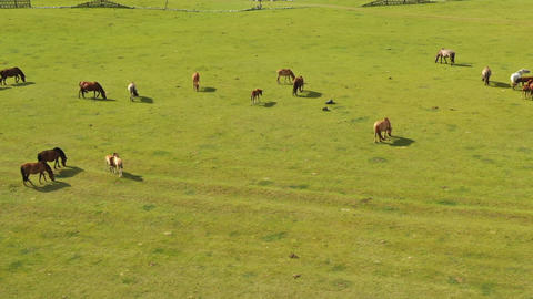 grazing horses on mountain pastures in Mongolia Live Action