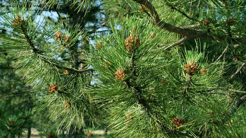 green pine branch with young cones in the forest on a summer day Acción en vivo