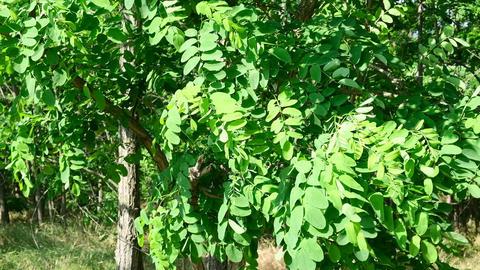 growing green acacia in the steppes of Ukraine, summer Acción en vivo