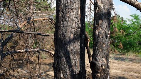 burnt trunks of pine trees in the forest in black ash Acción en vivo