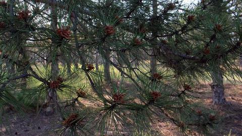 green pine branch with young cones in the forest Acción en vivo