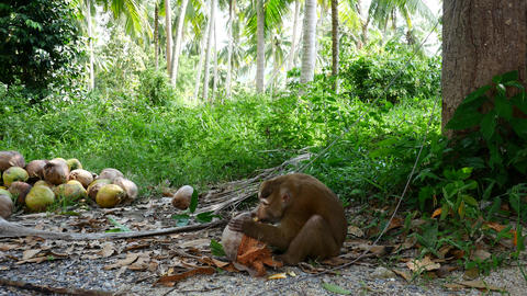 Monkey is eating coconut. Monkey collecting coconuts received an award for work Live Action