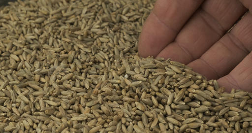 Rotating grain of rye and a farmer's hand. Farmer checks the grain. Close-up of Live Action