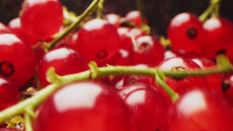 tasty ripe red currant berries in dark blurred background Live Action