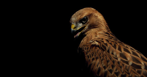 Predatory bird with brown feathers is looking around with its beak open, hawk Live Action