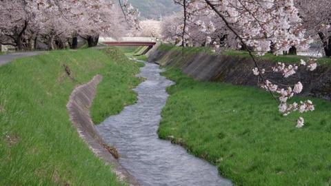 Flowers sakura nagano okaya yokokawagawa V1-0006 Footage