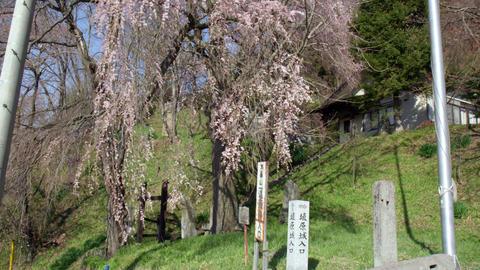 Flowers sakura shidarezakura V1-0005 Footage