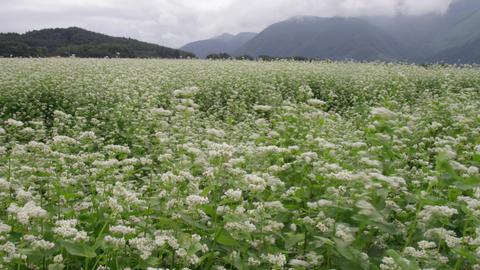 Flowers soba V1-0010 Footage