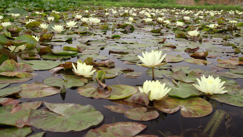 Flowers suiren V1-0025 Footage