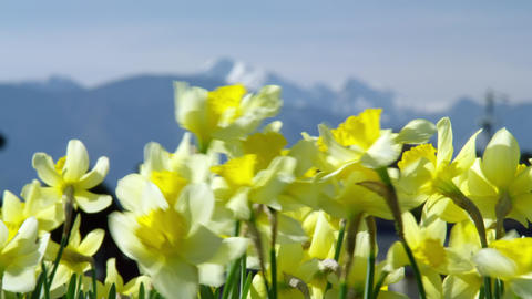 Flowers suisen V1-0005 Footage
