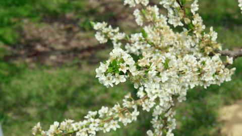 Flowers sumomo V1-0004 Footage