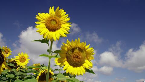 Flowers sunflower V1-0029 Footage
