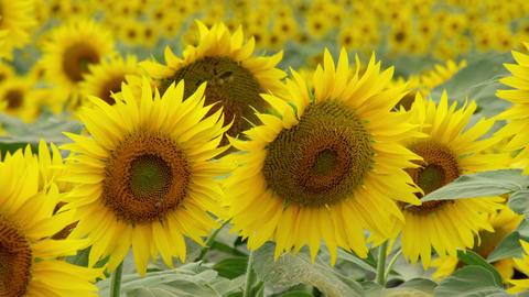 Flowers sunflower V1-0040 Footage