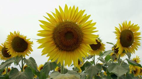 Flowers sunflower V1-0051 Footage
