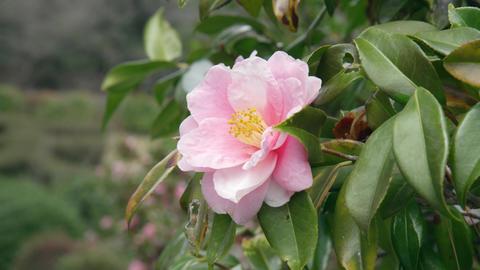 Flowers tsubaki V1-0001 Footage