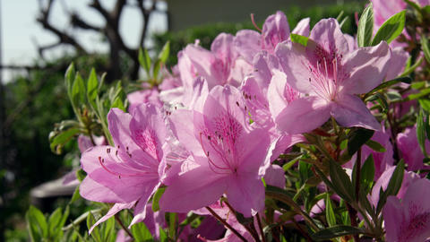 Flowers tsutsuji general V1-0018 Footage